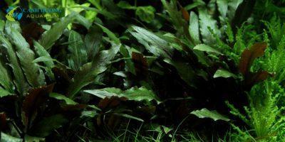 Tiêu thảo nâu (Cryptocoryne beckettii 'Petchii')